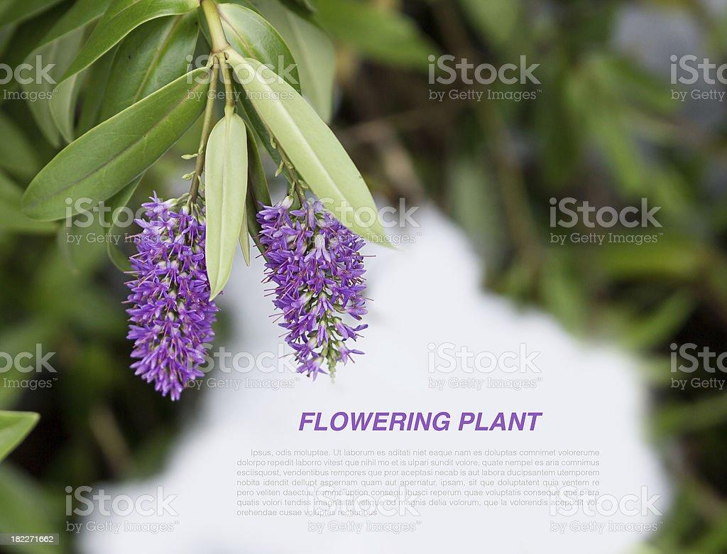 flowering heather plant royalty-free stock photo