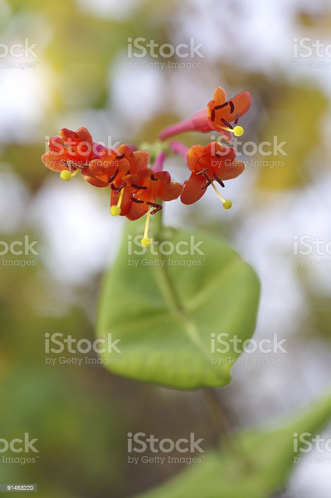 Flowering honeysuckle stock photo