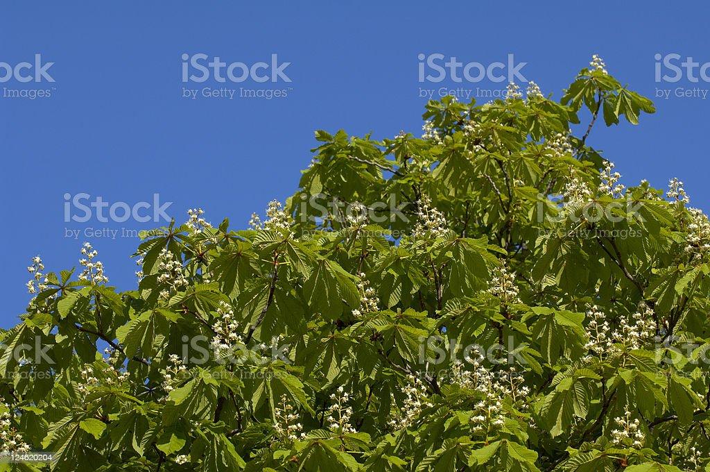 flowering Horse-chestnut stock photo