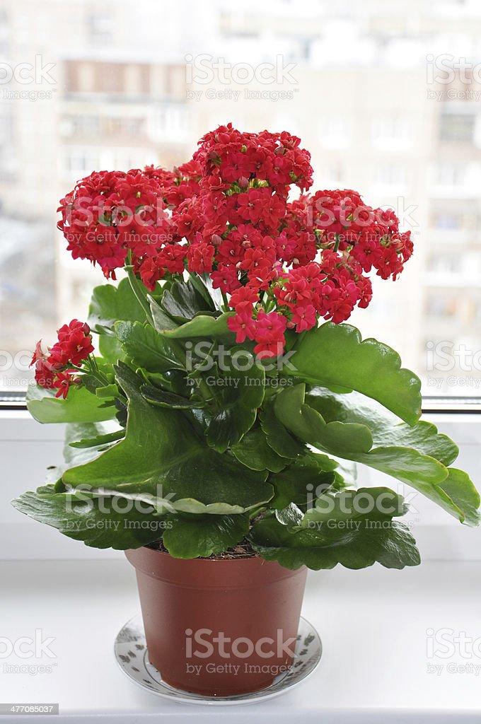 Flowering houseplant on a windowsill stock photo