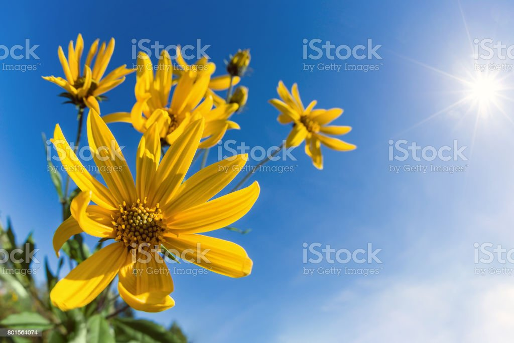 Flowering Jerusalem artichoke against blue sky stock photo