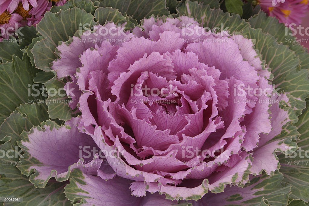 flowering kale royalty-free stock photo