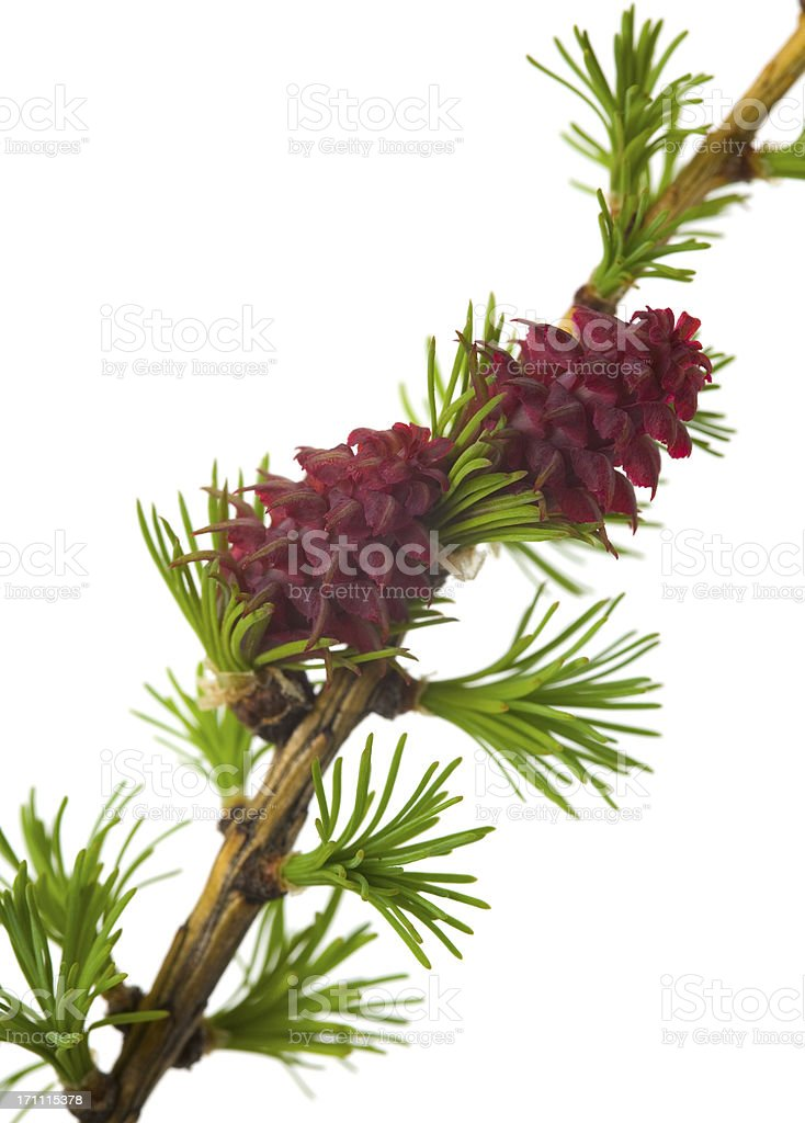 Flowering larch stock photo