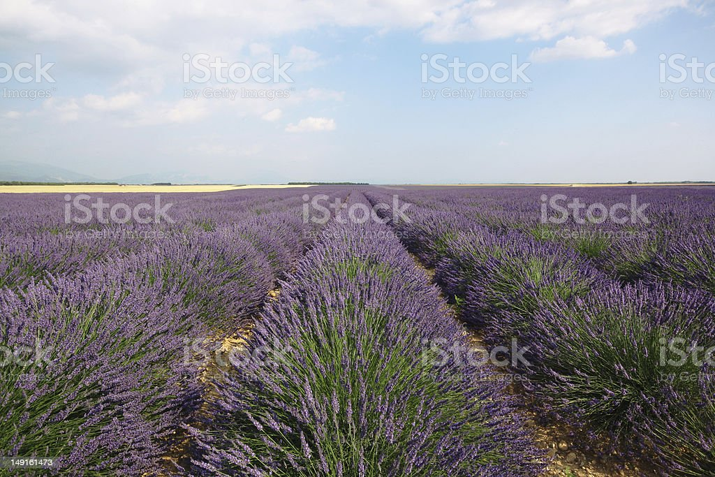 Flowering lavender field royalty-free stock photo