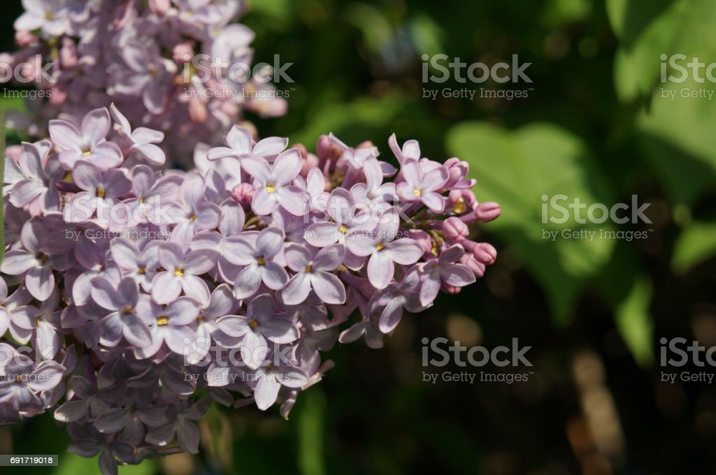 Flowering lilac branches stock photo