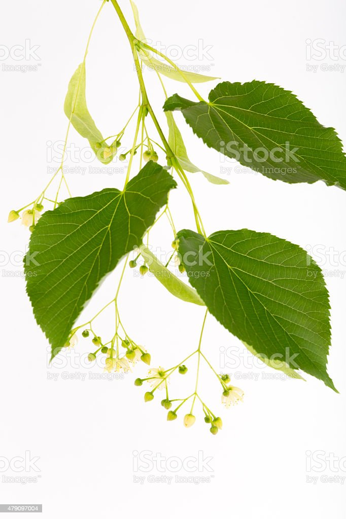 Flowering linden branch. stock photo