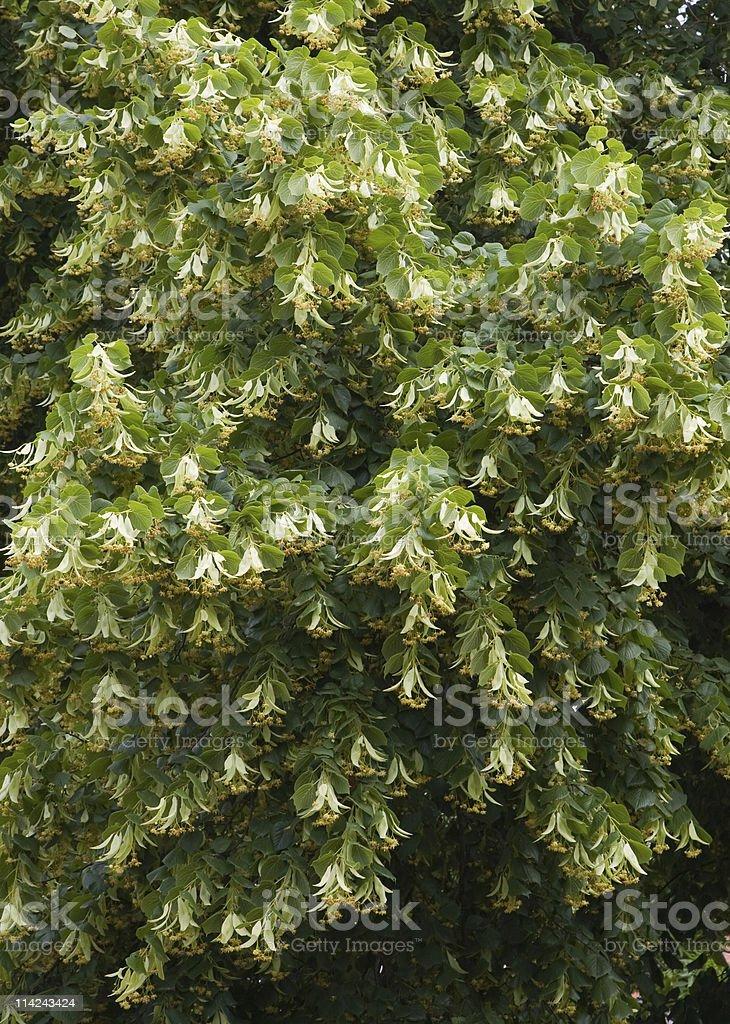 Flowering linden tree stock photo
