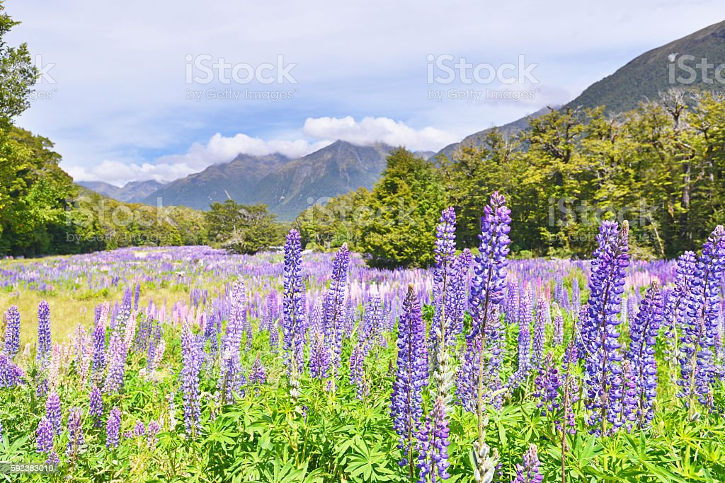 Flowering Lupines in Fiordland national park stock photo
