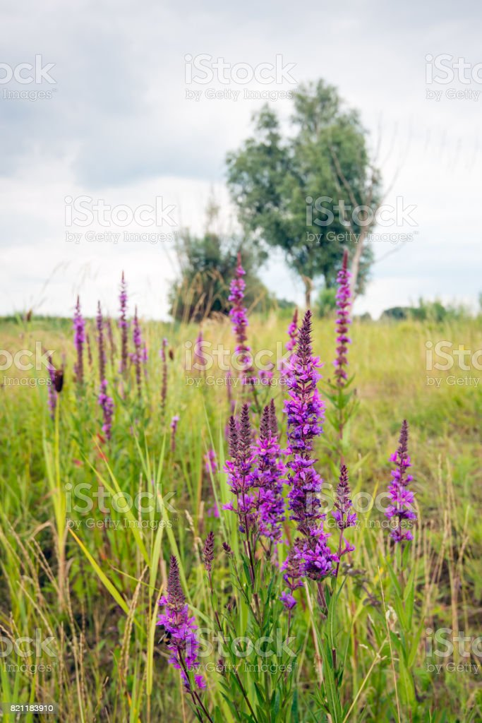 Flowering Lythrum salicaria or purple loosestrife in a marshy area stock photo