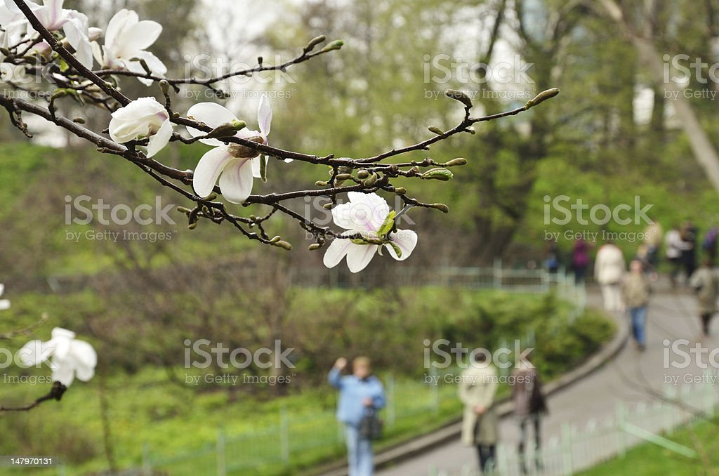 Flowering magnolia in the spring city park royalty-free stock photo