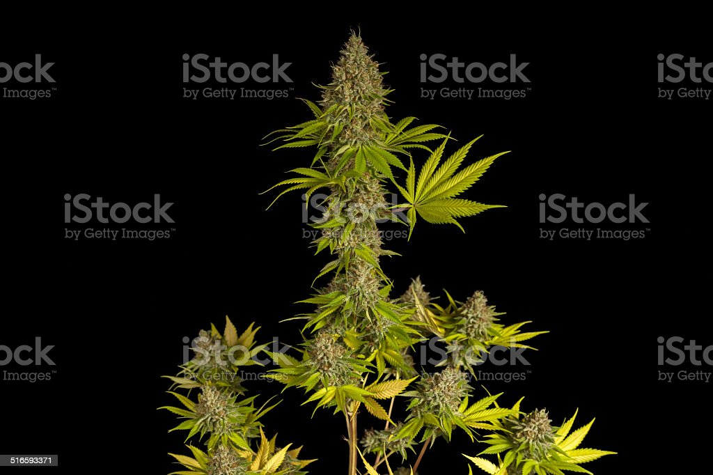 Flowering Marijuana Hybrid Plant Ready for Harvest stock photo