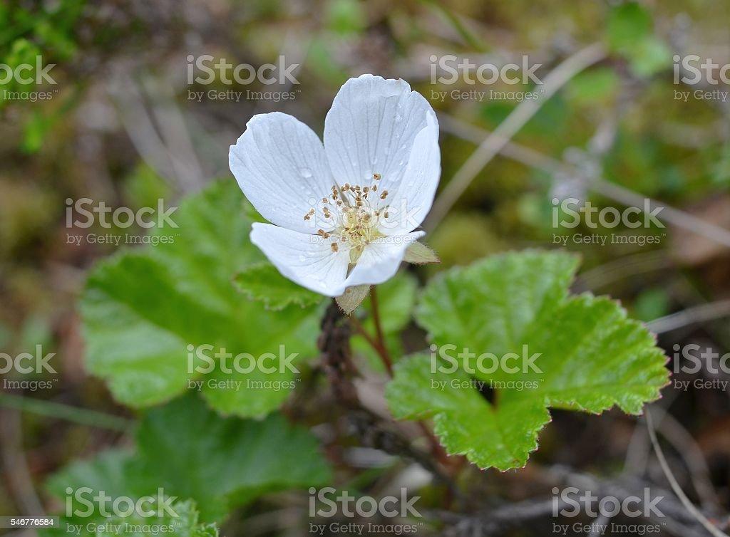 Flowering marsh berry cloudberry stock photo