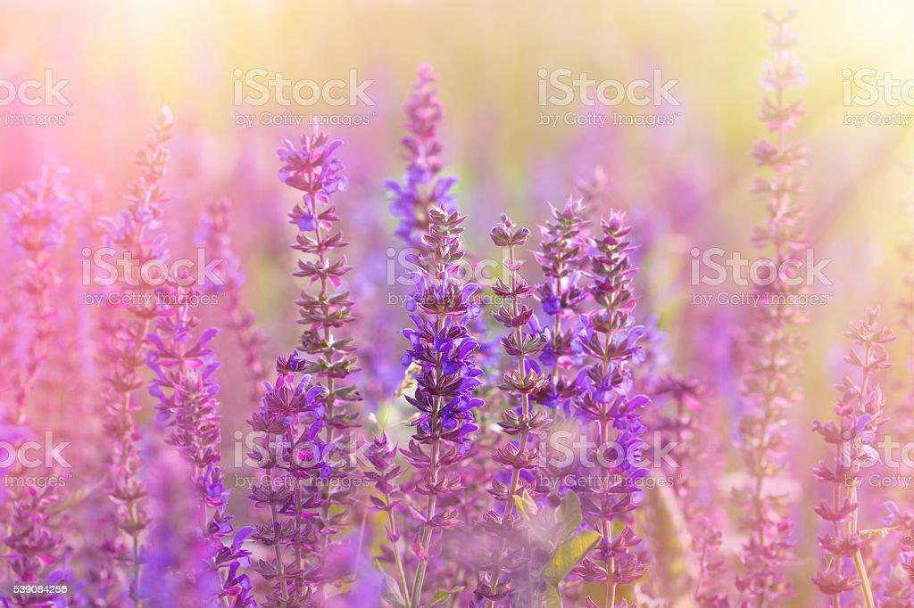 Flowering meadow - beautiful purple meadow flowers stock photo
