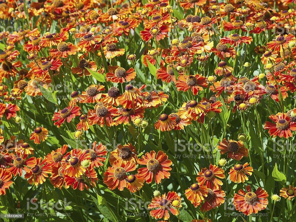 flowering meadow of gaillardia flower royalty-free stock photo