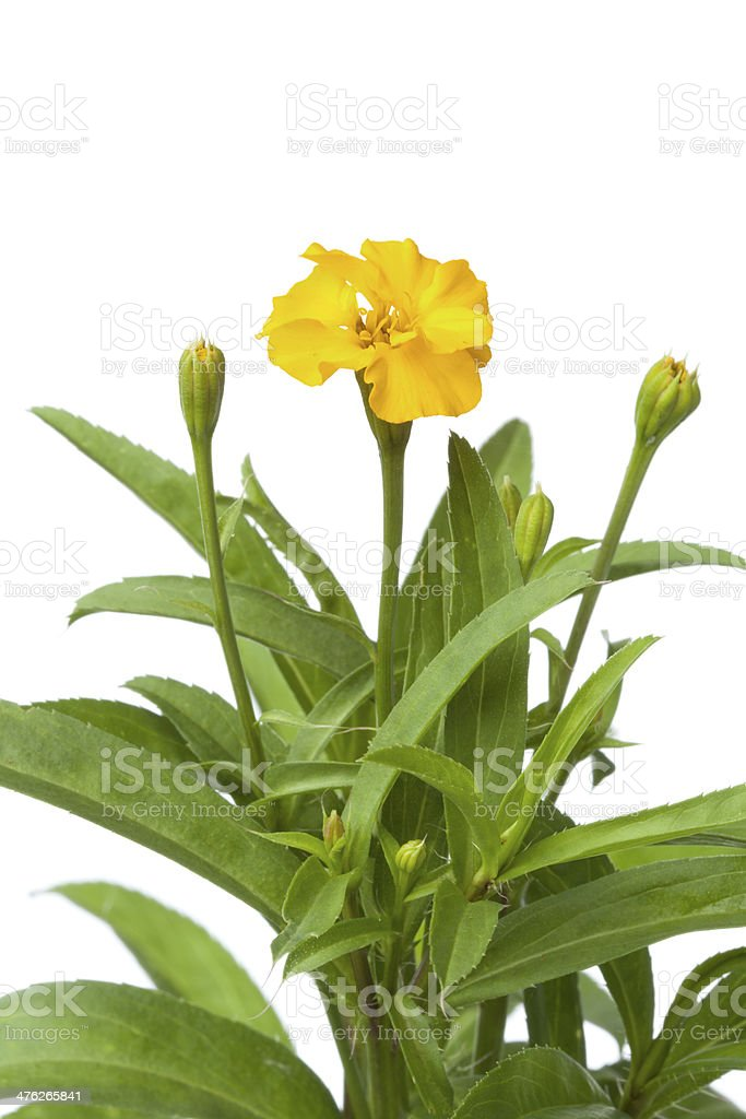 Flowering Mexican tarragon royalty-free stock photo