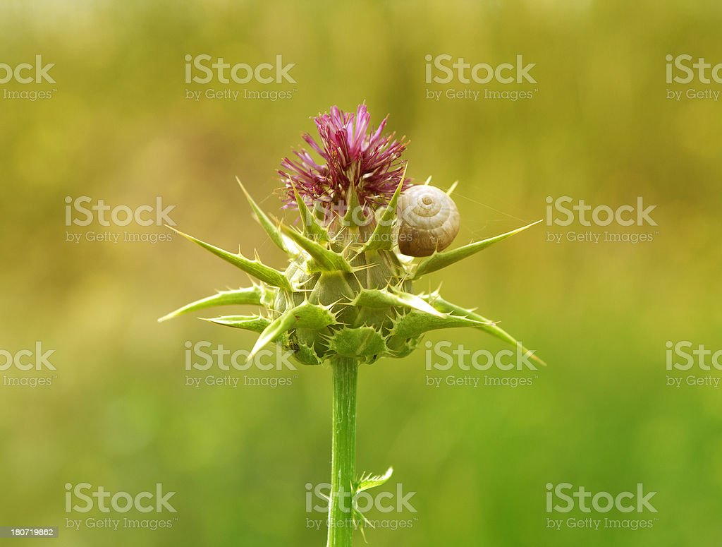 Flowering Milk Thistle . royalty-free stock photo