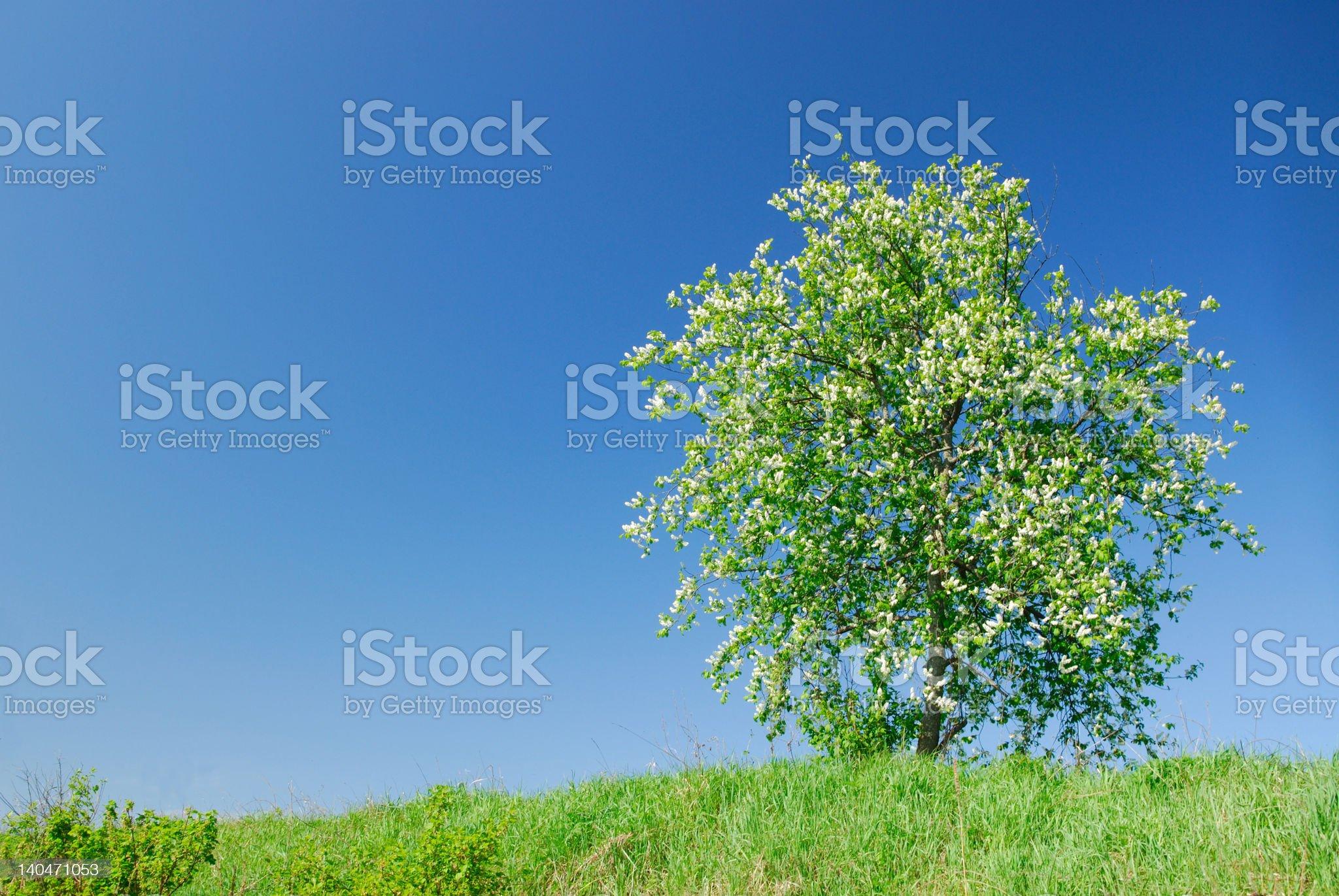 Flowering of a bird cherry royalty-free stock photo