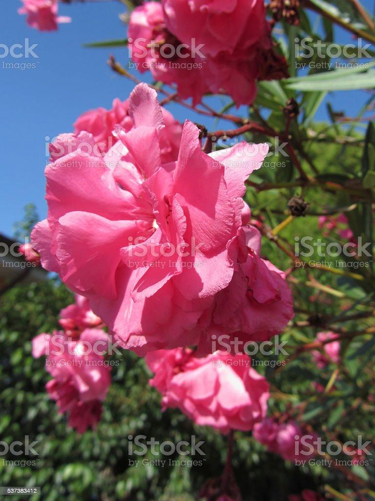 Flowering Oleander ( Nerium oleander, Apocynaceae ) stock photo