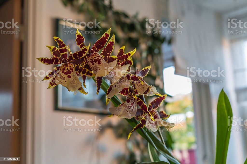 flowering orchid stock photo