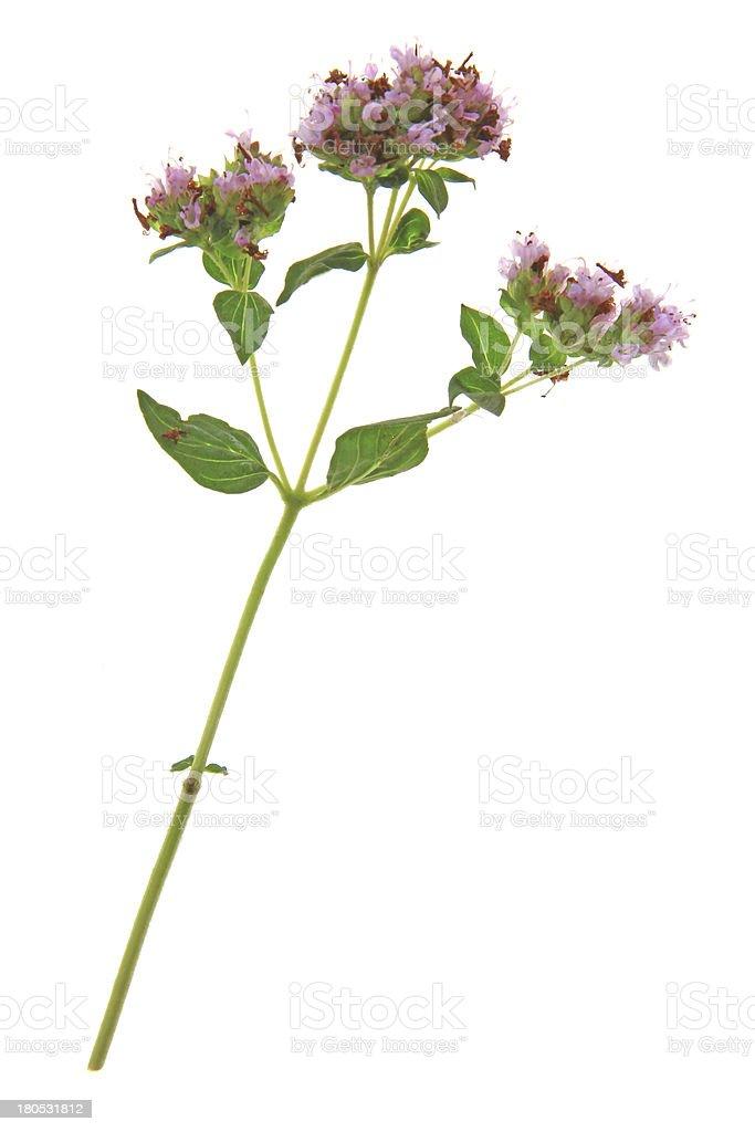 Flowering oregano (Origanum vulgare) stock photo