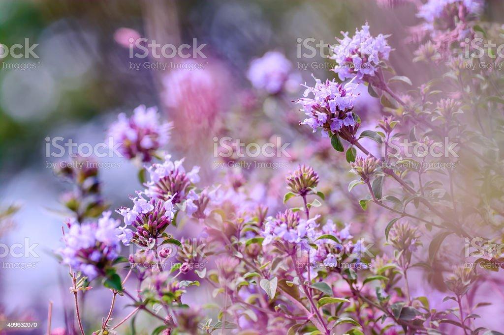 Flowering Oregano (Origanum vulgare ) stock photo