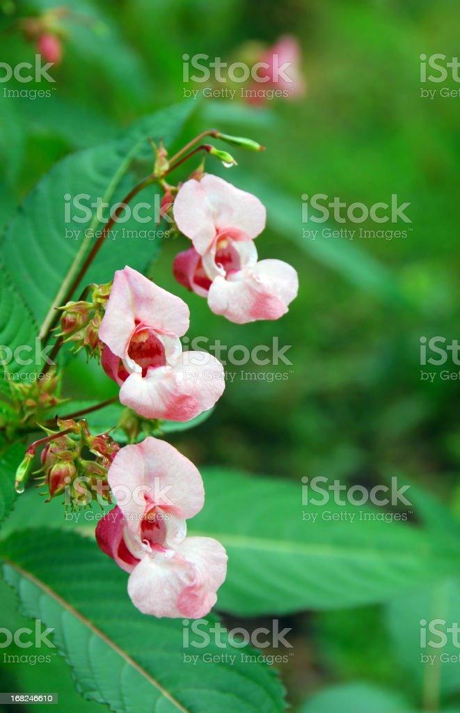Flowering  ornamental juwelweed stock photo
