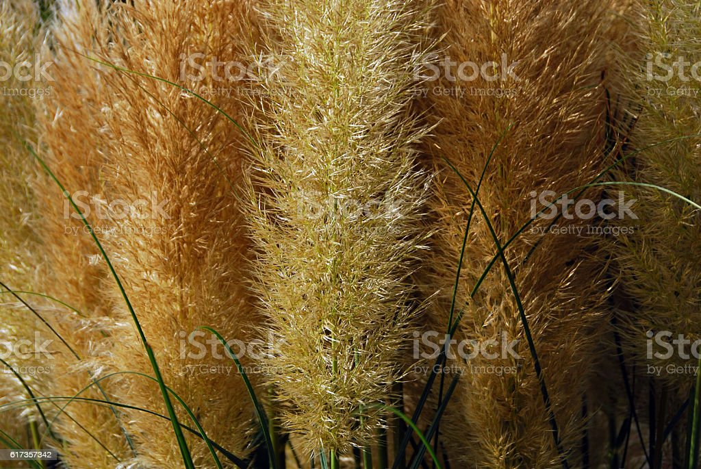Flowering Panicle of the Cortaderia plant. stock photo
