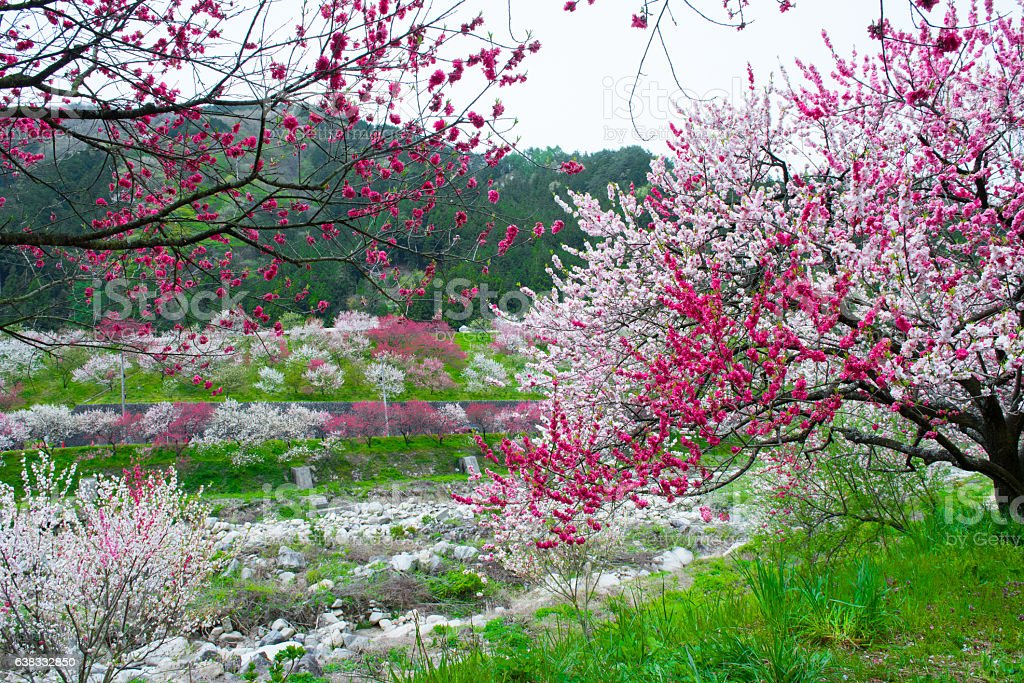Flowering peach trees and mountains and rivers stock photo