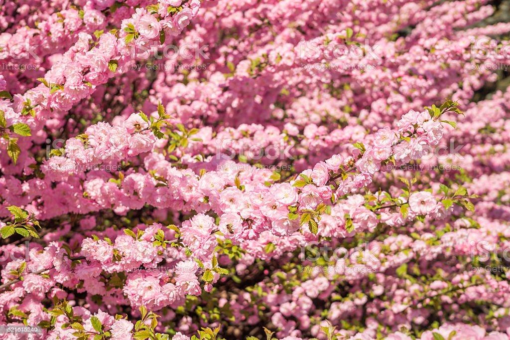Flowering peach trees. Spring in the full swing stock photo
