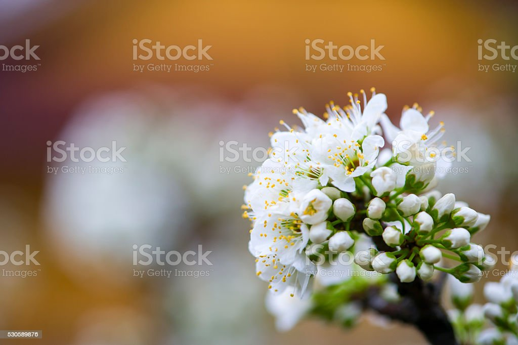 Flowering pear blossoms stock photo