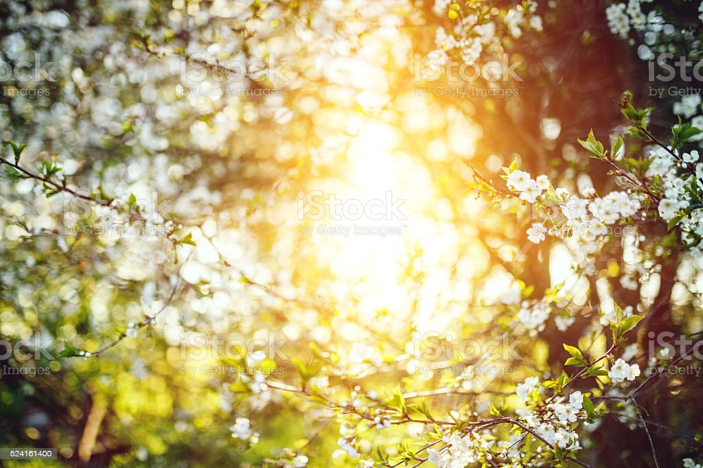 Flowering pear tree stock photo