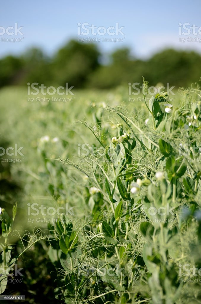 Flowering peas plant in a field stock photo