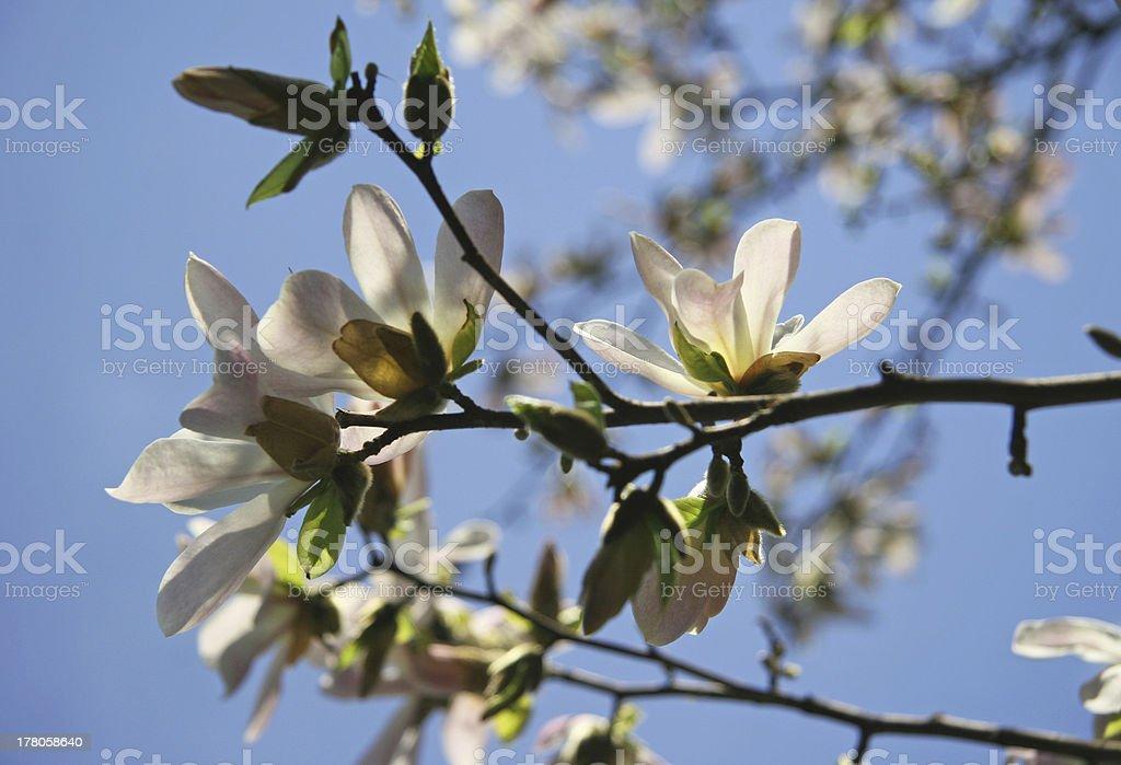 flowering royalty-free stock photo