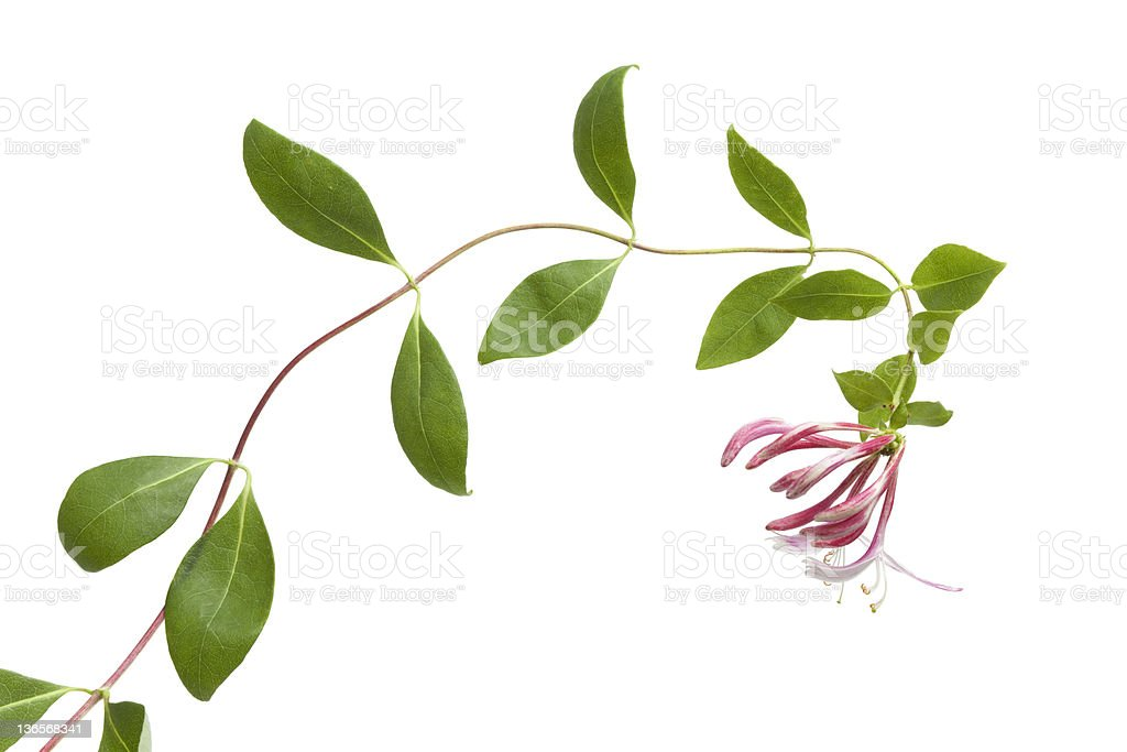 Flowering pink Honeysuckle stock photo