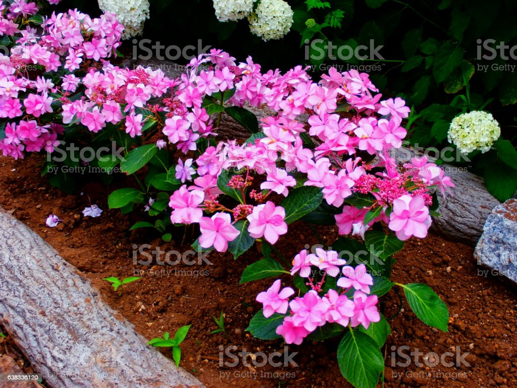 Flowering pink hortensias stock photo
