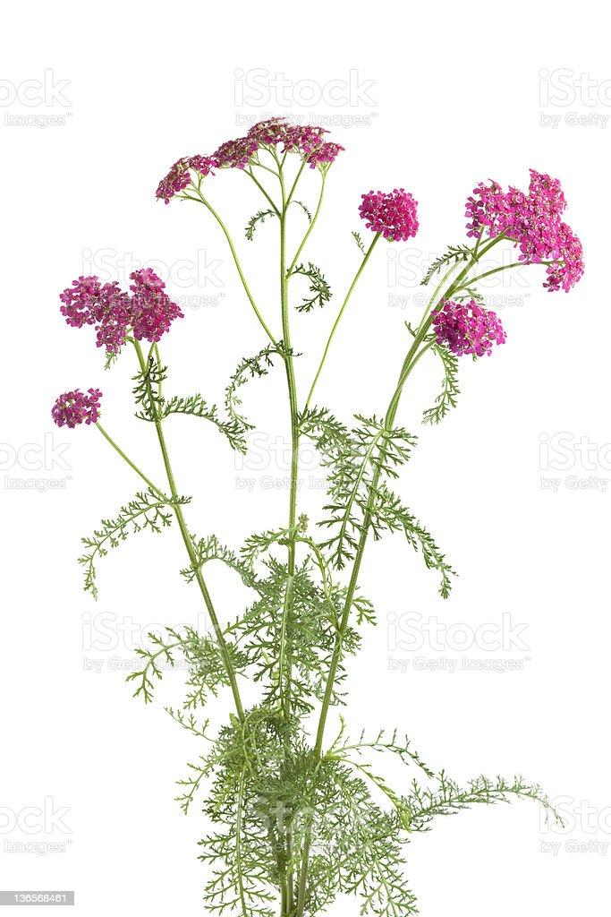 Flowering pink milfoil stock photo