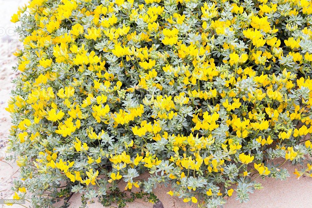 Flowering plant Lotus creticus close-up. stock photo