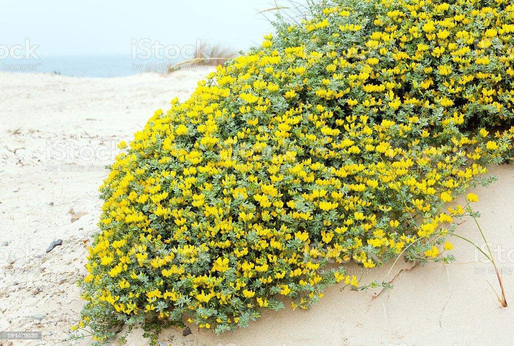 Flowering plant Lotus creticus on beach. stock photo