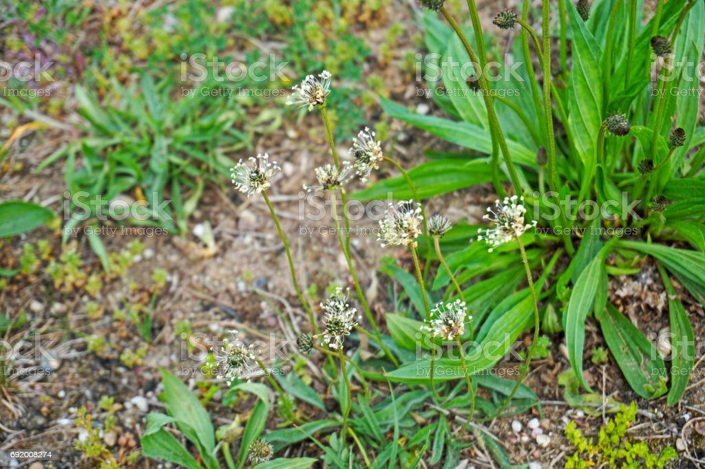 Flowering plantago lanceolata. Family Plantaginaceae. stock photo