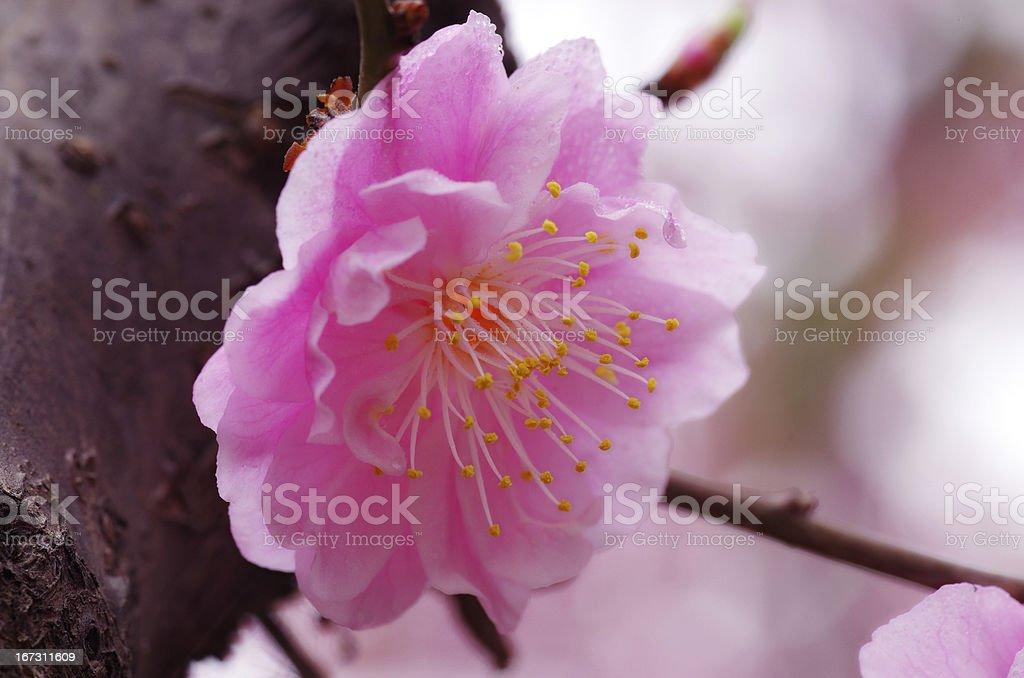Flowering plum royalty-free stock photo