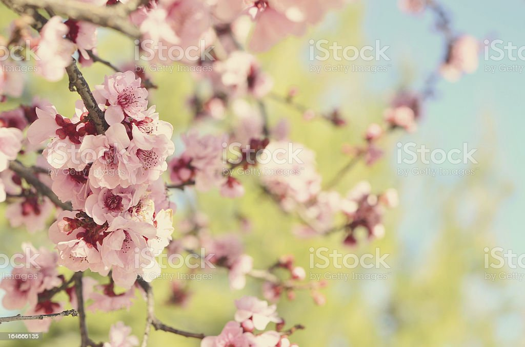 Flowering Plum Tree Blossoms royalty-free stock photo