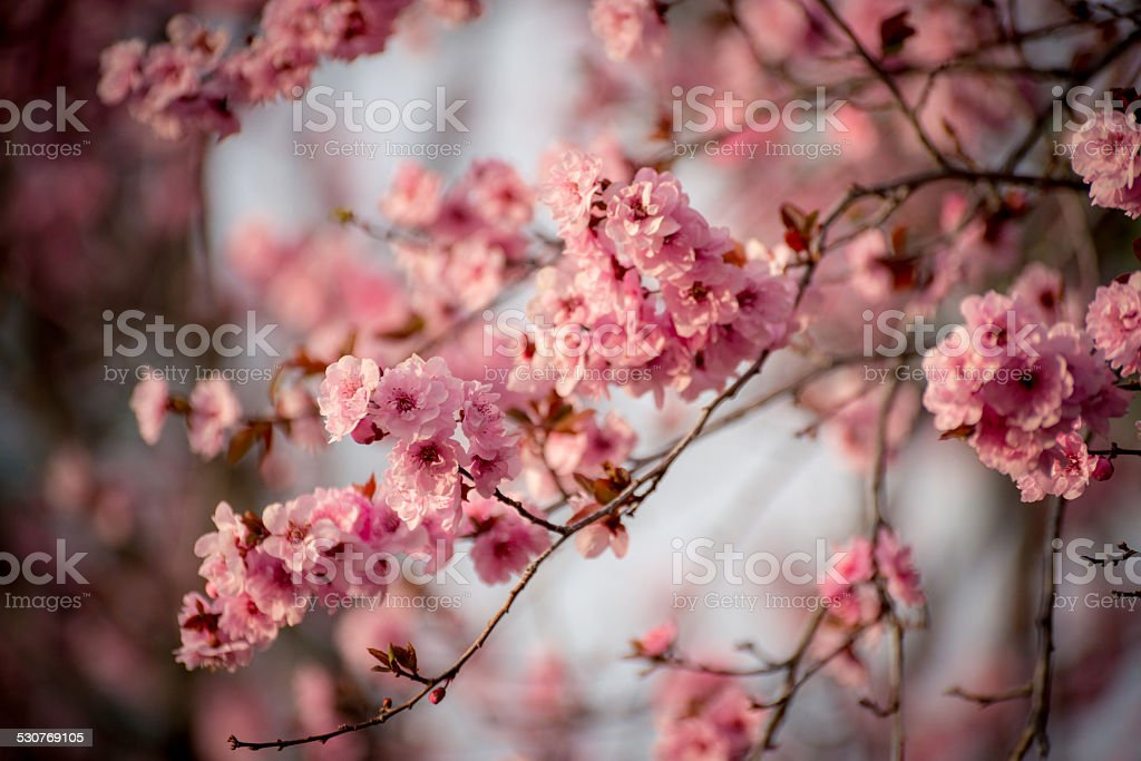 flowering plum tree stock photo