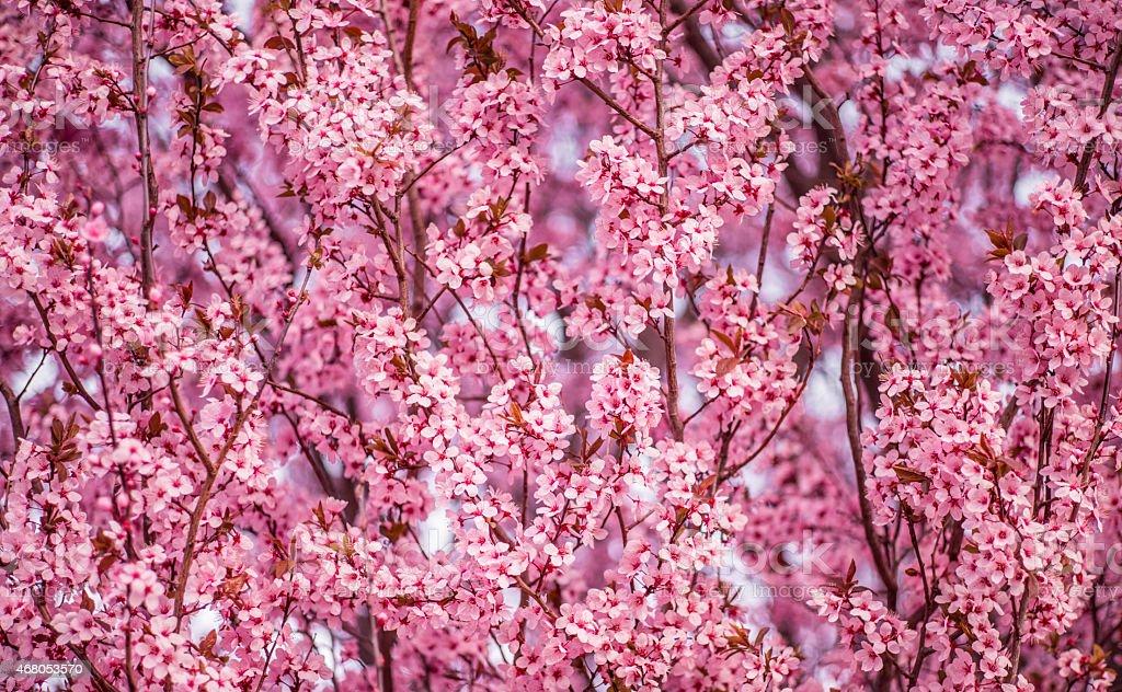 Flowering Plum,Thundercloud plum Tree pink blossoms stock photo