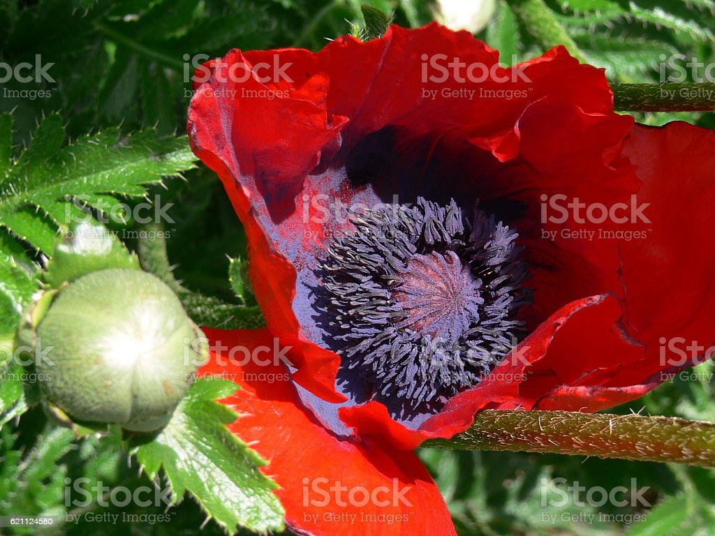Blühender Klatschmohn 2 stock photo