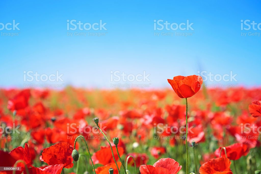 Flowering Poppy Field stock photo