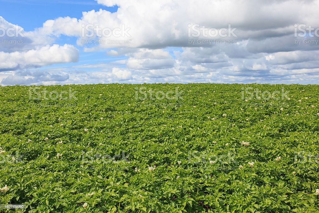 Flowering potato field stock photo