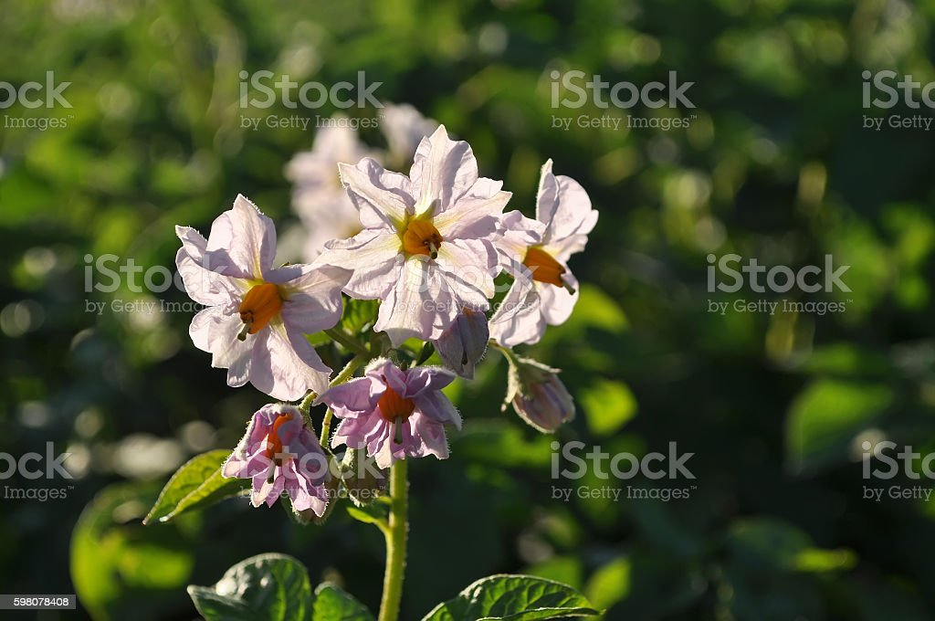 flowering potato stock photo