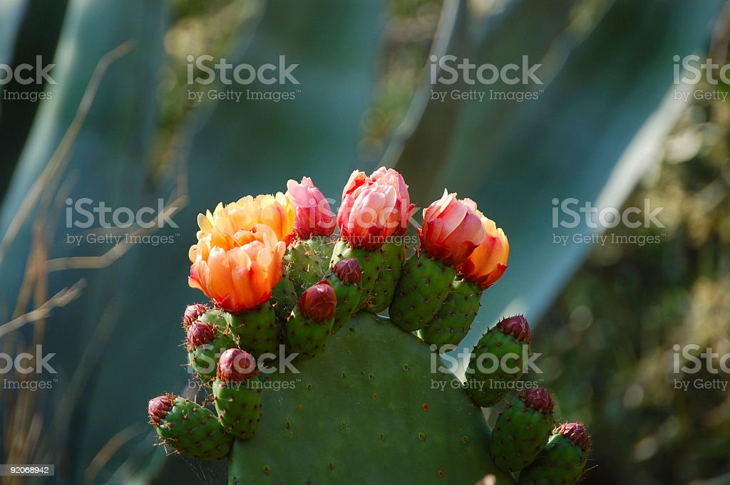 Flowering Prickly Pear stock photo