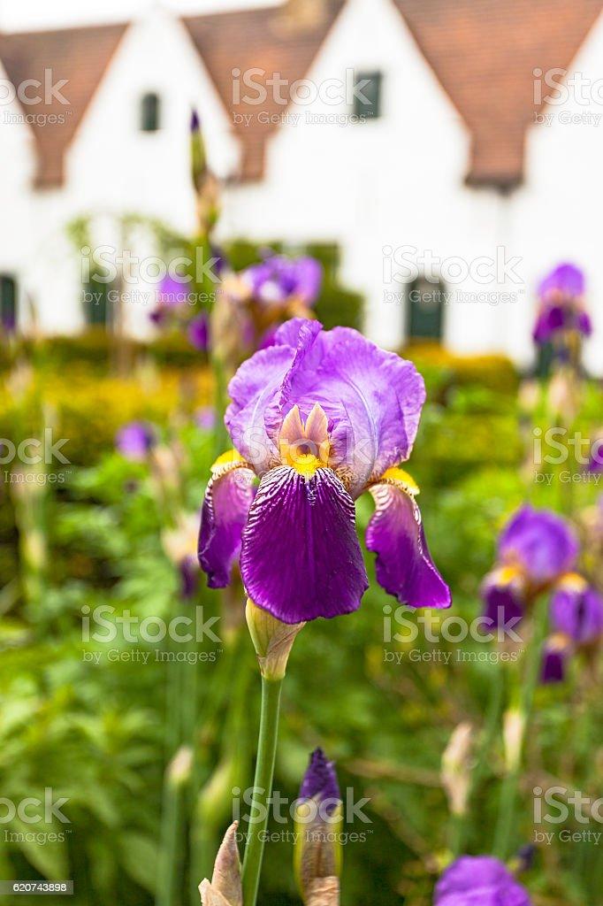 Flowering purple iris in Bruges' Béguinage courtyard stock photo