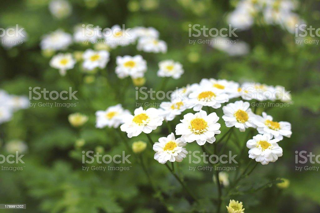 Flowering Pyrethrum royalty-free stock photo
